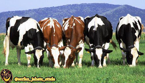 اتیوپی ۵۴ و سودان ۴۲میلیون گاو داره ولی هر دو كشور فقيرند!