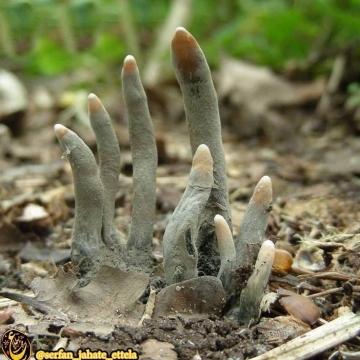 قارچ سمى ترسناک که به انگشتان مُرده نیز معروف است!