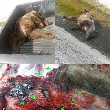 رئیس اداره محیط زیست صومعه سراازپیدا شدن جنازه یک خرس قهوه ای درروستای تنیان خبرداد.