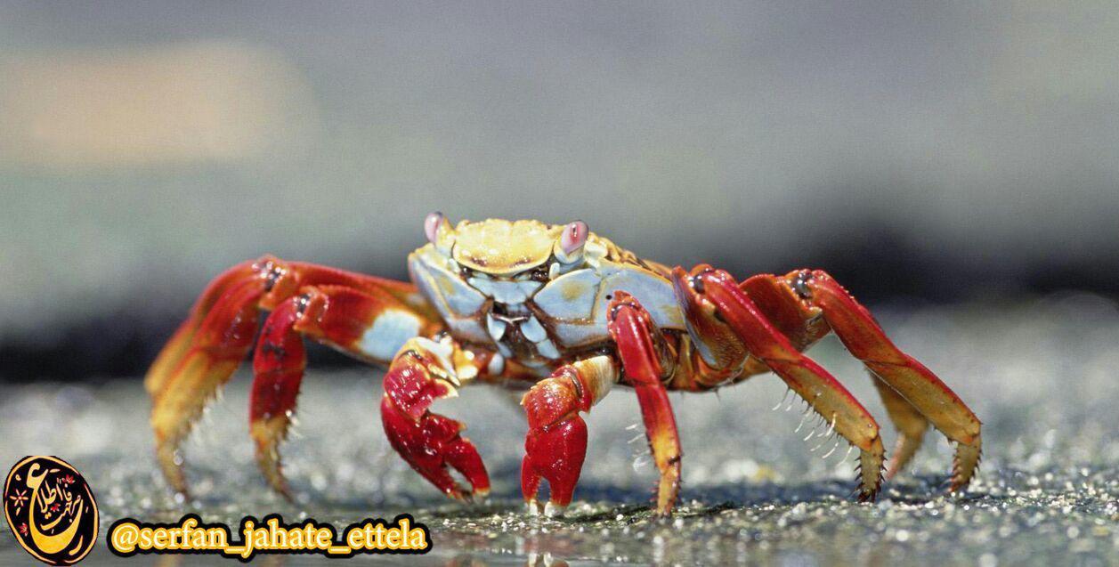 مغز خرچنگ در گلویش واقع شده است