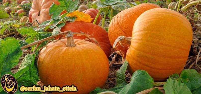 امروز ۲۶ اکتبر روز جهانی کدو تنبل هست