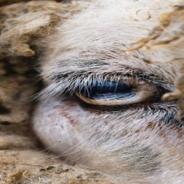 عکس روز نشنال جئوگرافیک  تصویری از چشم یک گوسفند در باغ وحش