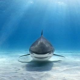 حمله کوسهای شش متری به زیردریایی برنامه مستند سیاره آبی بیبیسی