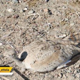 جریمه شکار هر قطعه پرنده هوبره ۲۰۰ میلیون ریال است