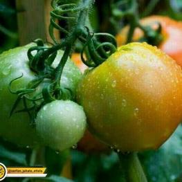 در قسمت های سبز گوجه فرنگی سمی به نام توماتین وجود دارد