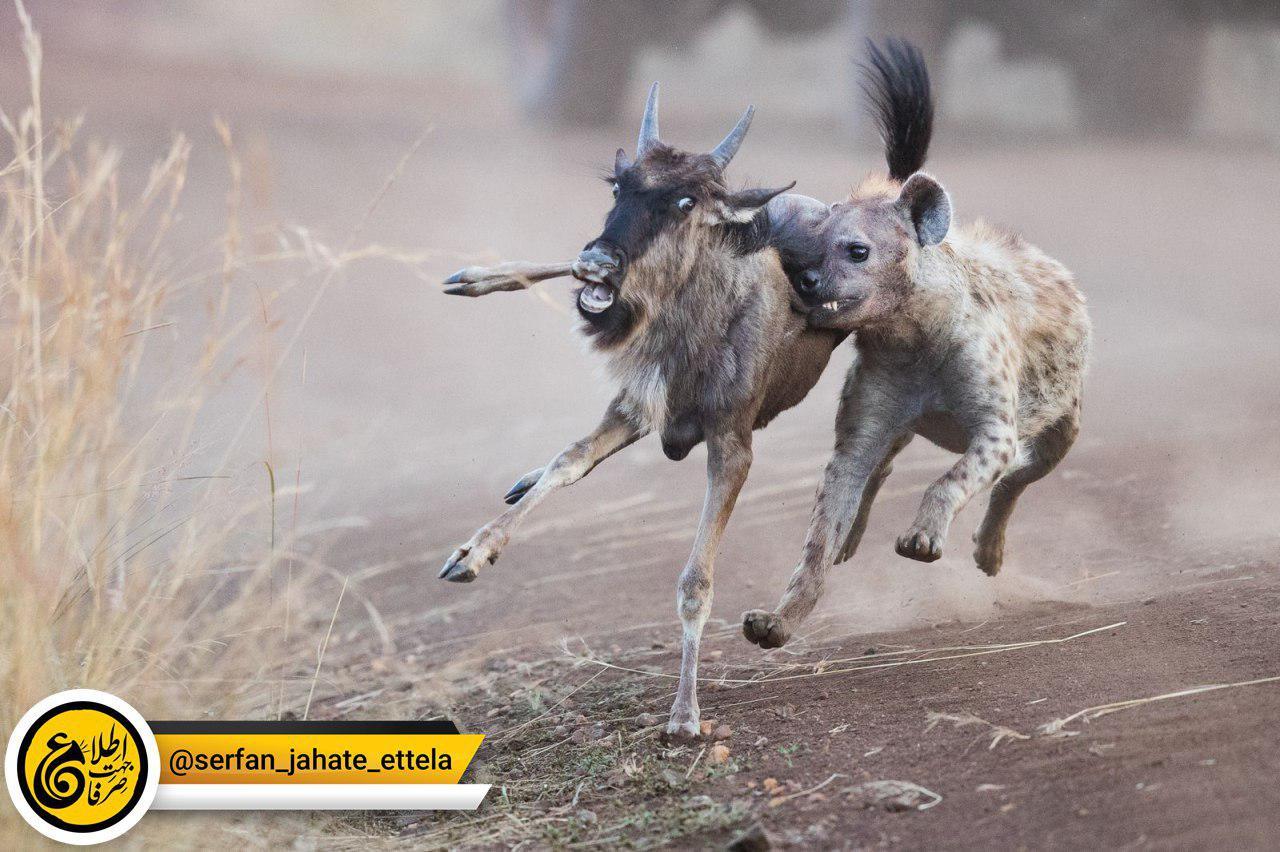 تلاش یک کفتار برای شکار یک گوزن یالدار