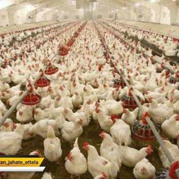 افزایش قیمت مرغ در آستانه شب یلدا