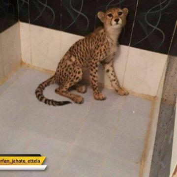 قاچاق یوزپلنگ ایرانی در تهران