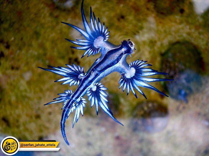 اسم این ماهی عجیب، گلاکوس آتلانتیکوس هست