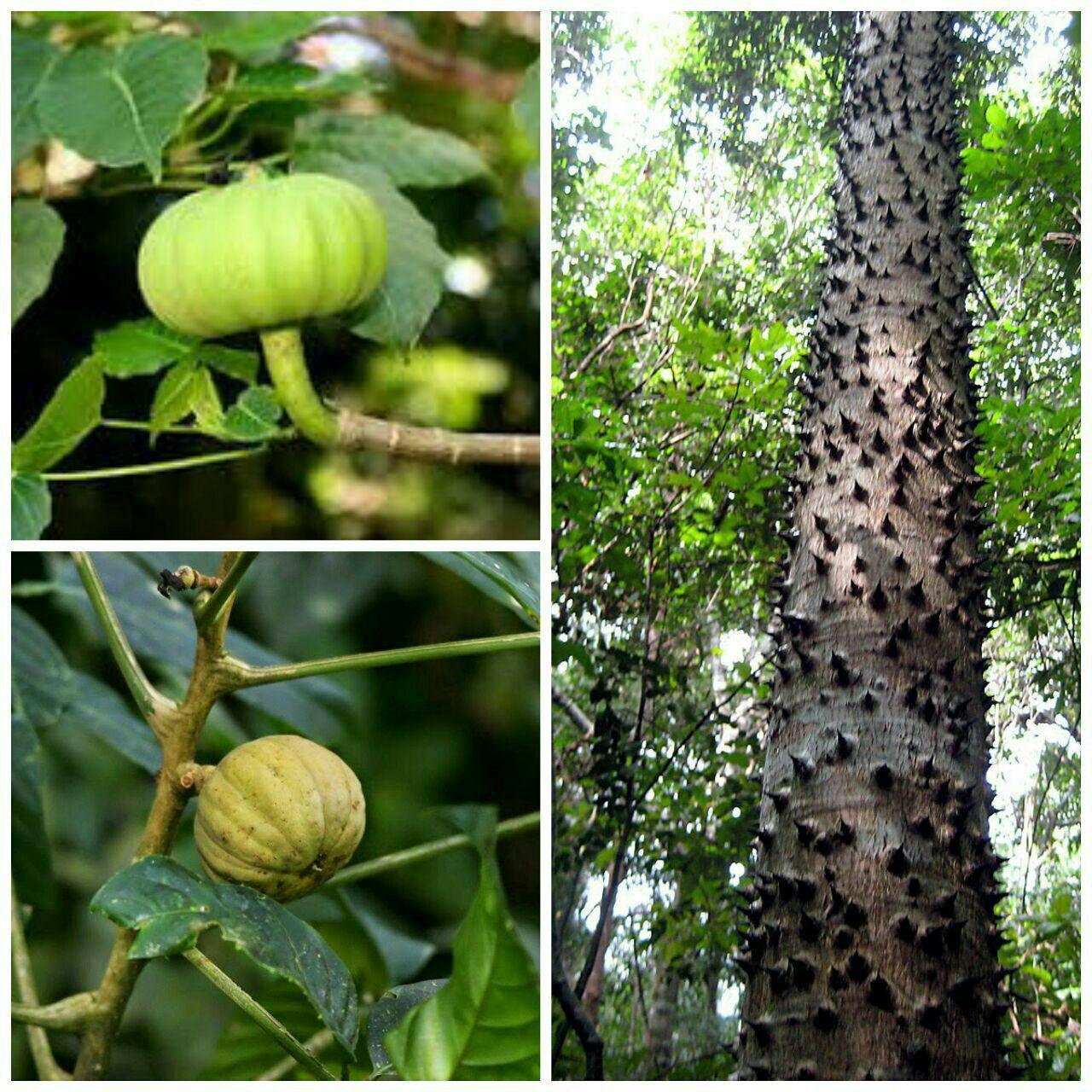 درختی به نام هورا کرپیتانس