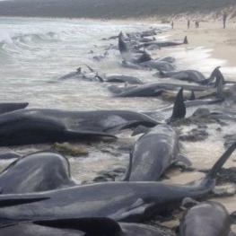 ۱۵۰ نهنگ امروز در سواحل غربی استرالیا در ساحل گیر افتادند
