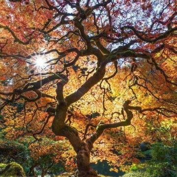 تصویر یک درخت افرا در باغ پورتلند (Portland) ژاپن
