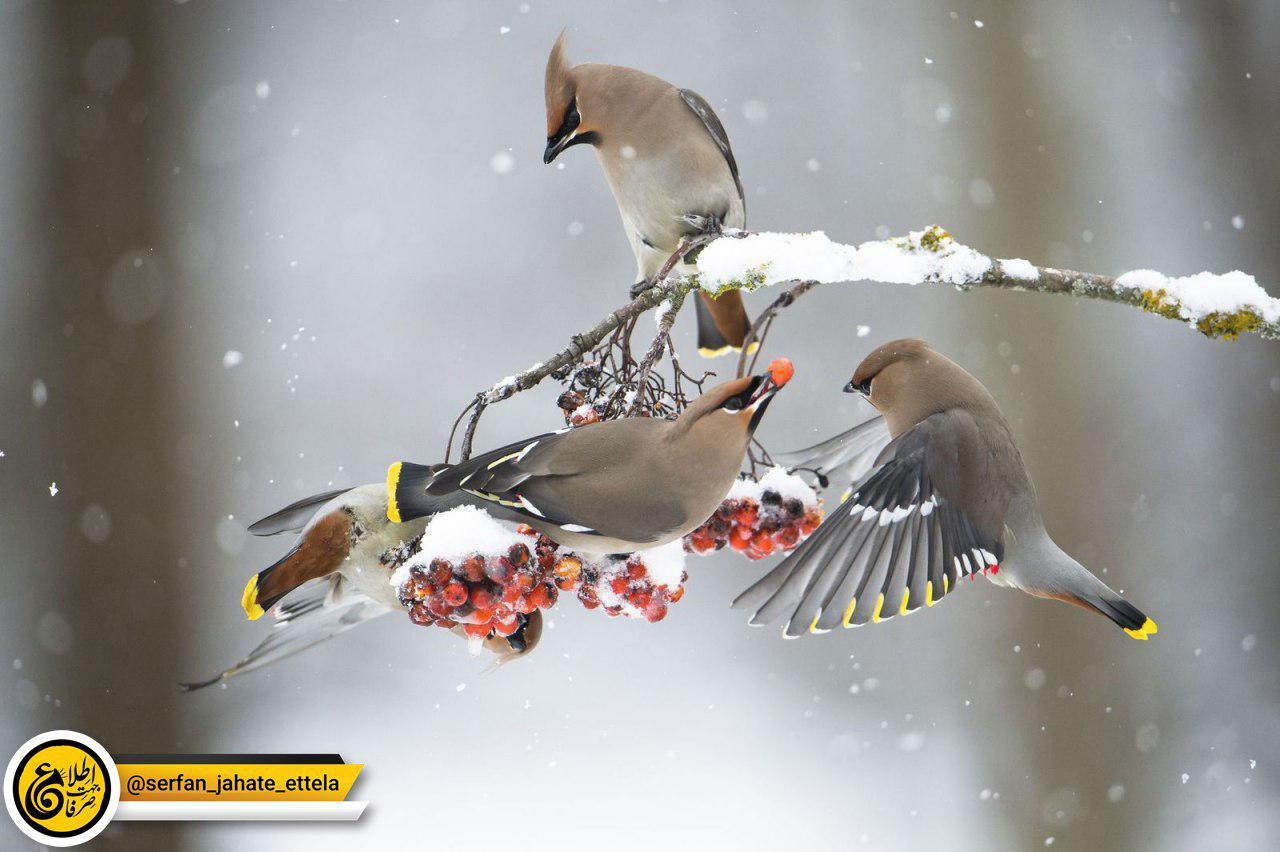 عکس روز نشنال جئوگرافيک:بال لاکی ها در زمستان، مينه سوتا (آمريکا)