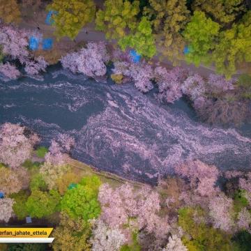 شکوفه های گیلاس در توکیو پایتخت ژاپن