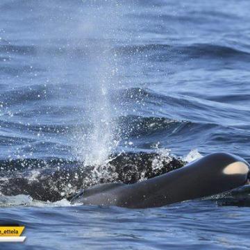 یک نهنگ، بعد از ۱۷ روز به عزاداریش برای بچهی مردهاش پایان داد