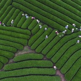باغ چای در سونلا