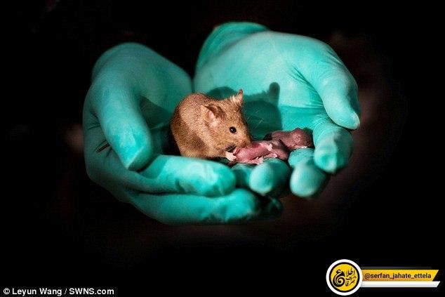 چینیها از ۲ موش ماده ۲۹ بچه موش ساختند!