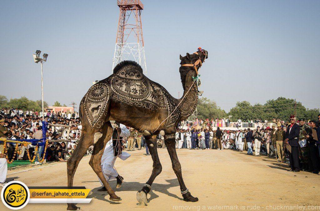 ۴۰ میلیون دلار جایزه برای زیباترین شتر عربستان!