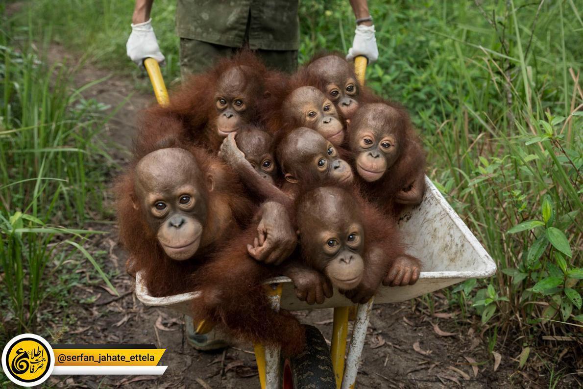 عکس روز: میمونهای یتیمشده