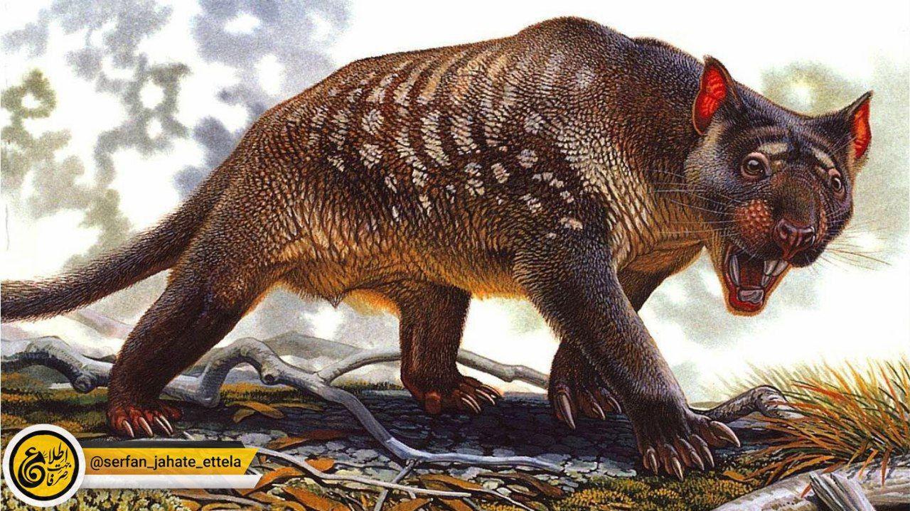 تحقیق جدیدی میگه انقراض تیلاکولئو (شیر کیسهدار)، جانور افسانهای استرالیایی، تقصیر انسانها نبوده و علتش تغییرات اقلیمی بوده