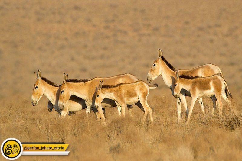 مدیرکل حفاظت محیط زیست استان سمنان: گورخرها فرار نکردهاند