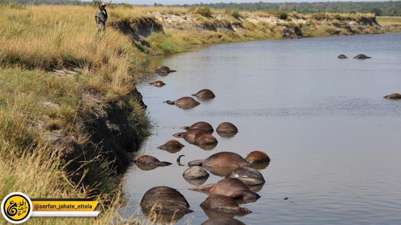 شیرها مسئول غرق شدن ۴۰۰ بوفالو در رودخانه ای در بتسوانا- نامیبیا شدند