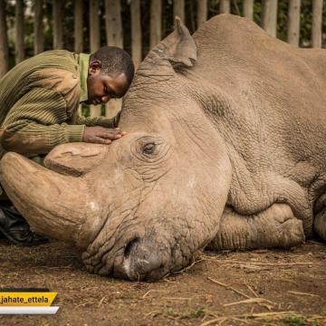 سودان؛ دقایق قبل از مرگ آخرین کرگدن سفید نر جهان؛ صد عکس برتر تایم