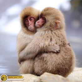 تصویر روز: دو میمون که در سرمای زمستان یکدیگر را بغل گرفته اند