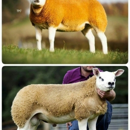 گرانترین نژاد گوسفند، دولان است!