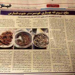 ملخ در شهر گراش (استان فارس) کیلویی ۴۰ تا ۶۰ هزار تومان خرید و فروش میشود!