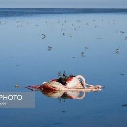 تلفات پرندگان مهاجر میانکاله به بیش از ۴۰۰۰ لاشه رسید
