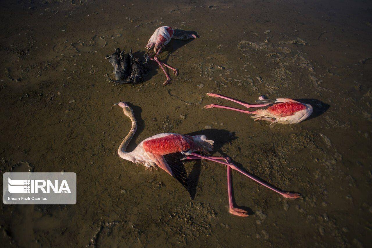 بیماری بوتولیسم علت اولیه مرگ پرندگان میانکاله