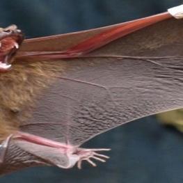 «خفاش» منشا ویروس کرونا اعلام شد