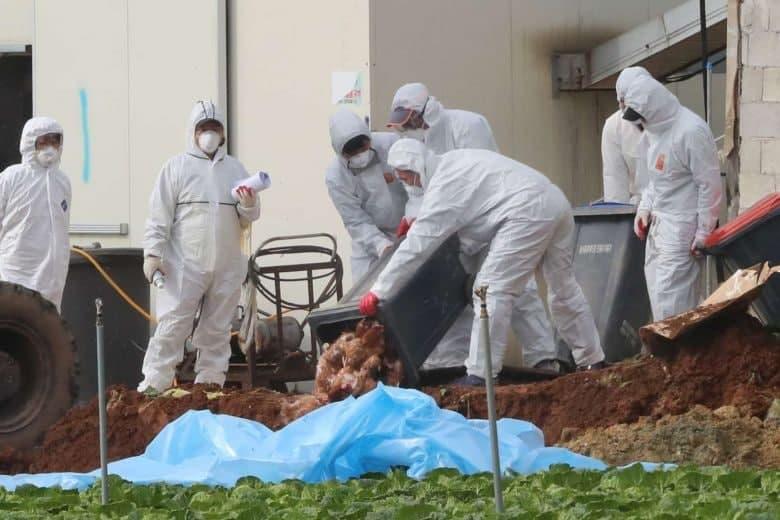شیوع آنفولانزای مرغی در مرغداریهای کره جنوبی