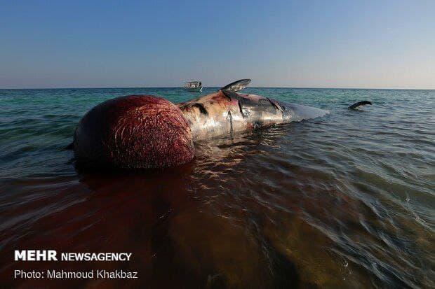 مشاهده لاشه یک کوسه نهنگ در میناب
