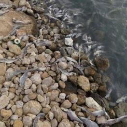 تلفشدن ماهیها به علت نشت مواد نفتی