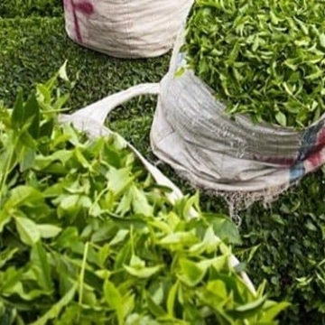قیمت هر کیلو چای ۷۰ هزار تومان