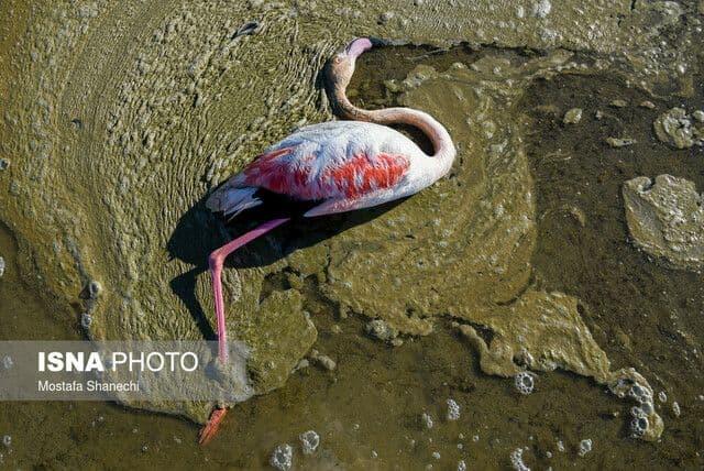 یک متخصص میکروبشناسی: سال آینده نیز شاهد مرگ پرندگان در تالاب میانکاله خواهیم بود