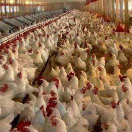 عملکرد دولت و صداوسیما قیمت مرغ را پراند