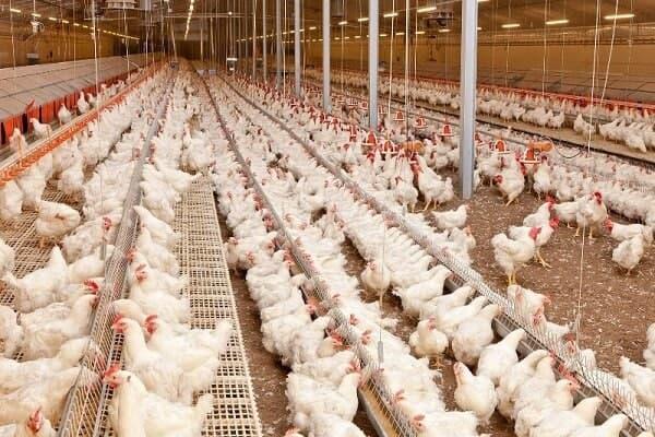 چالش جدی صنعت مرغ؛ از سرکوب قیمتی توسط دولت تا تلفات ناشی از گرما