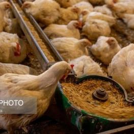 فروش مرغ بیش از ۲۷ هزار تومان سودجویی است/ راستی آزمایی در آمار جوجه ریزی